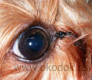 У собаки закисает один глаз что делать 2